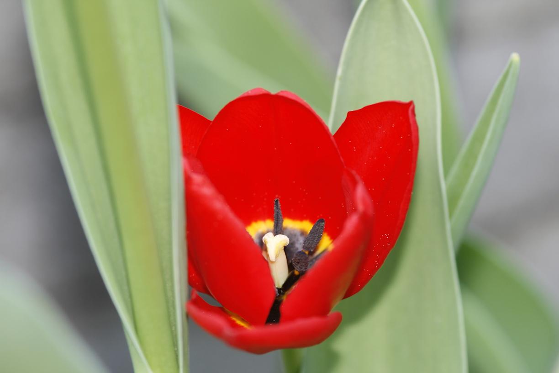 Punainen tulppaani