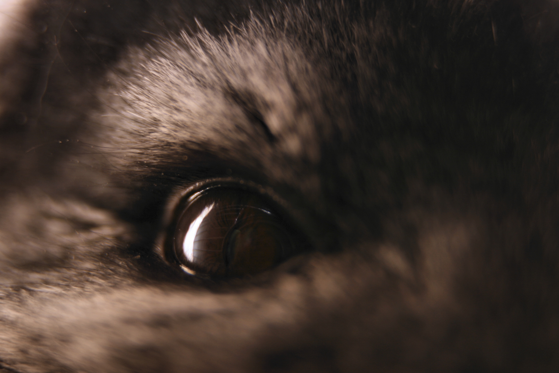 Chincillan silmä