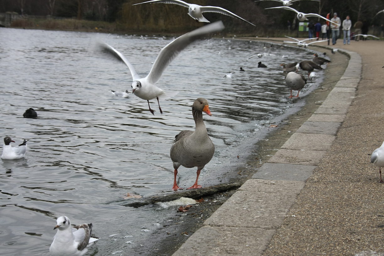 Lintuja Lontoossa