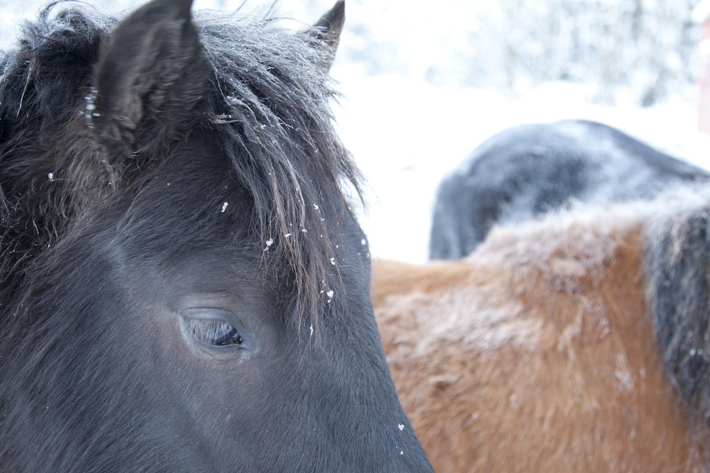 Hevosia talvella
