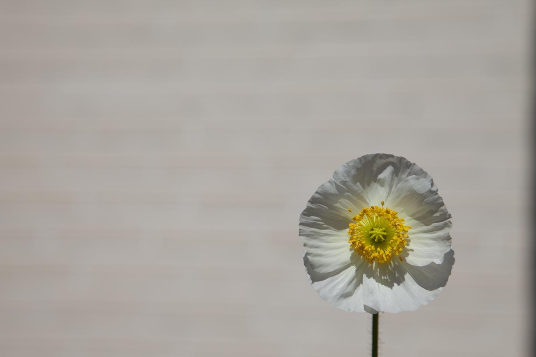 Pieni valkoinen kukka ja tiiliseinä