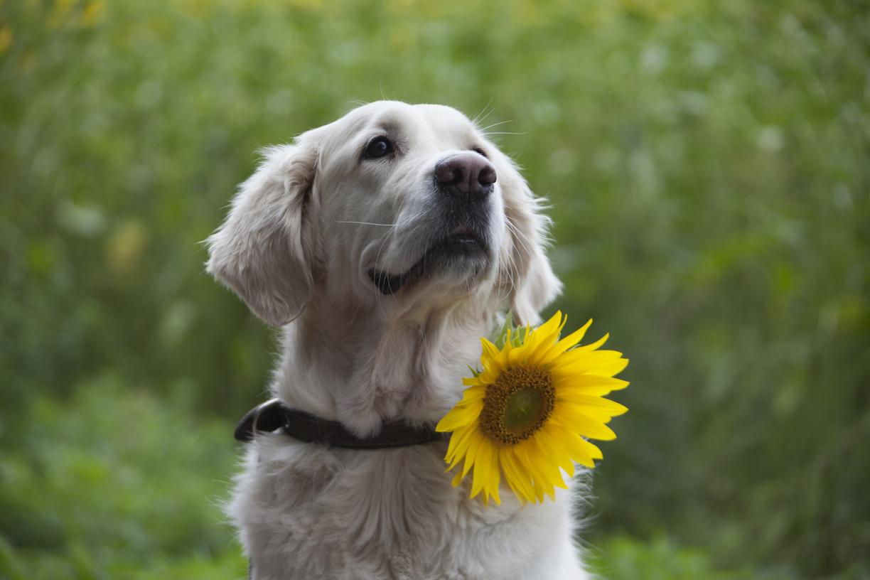 Sani ja auringonkukka