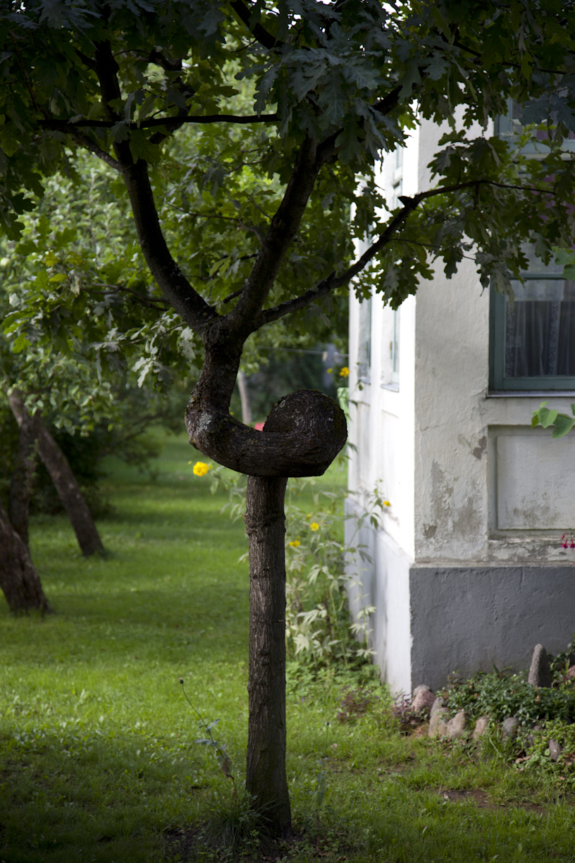 Käyräpuu