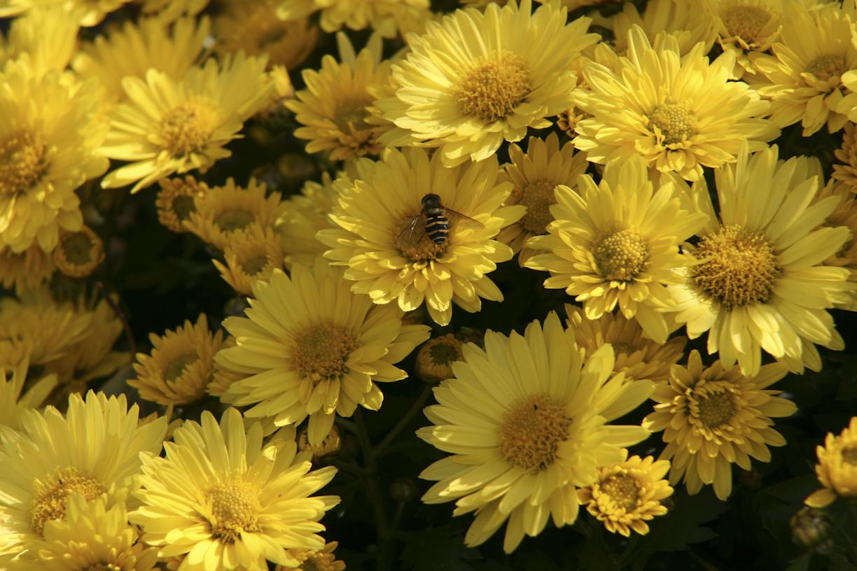 kimppu keltaisia kukkia